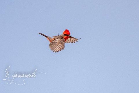 Vermilion-Flycatcher-8-s