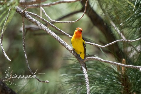 Western-Tanager-1-s
