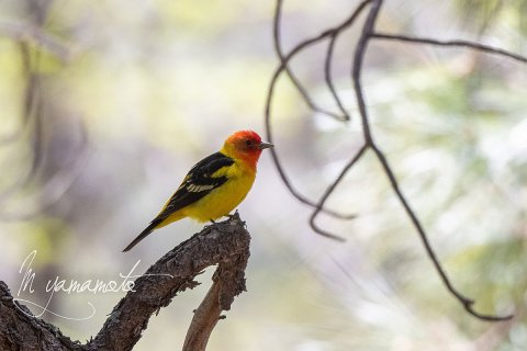 Western-Tanager-4-s