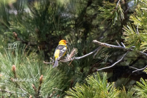 Western-Tanager-6-s
