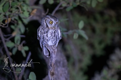 Whiskered-Screech-Owl-2-s