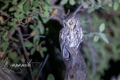 Whiskered-Screech-Owl-3-s