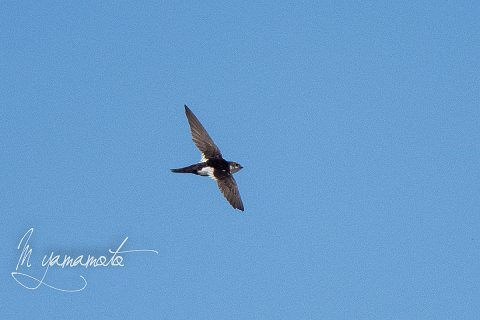 White-throated-Swift-2-s