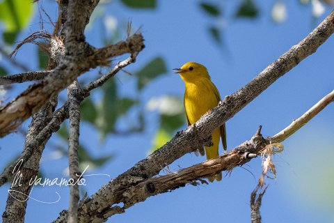 Yellow-Warbler-1-s