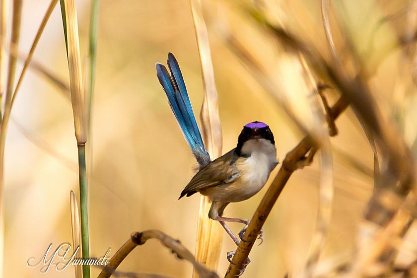 Purple-crowned Fairywren;ホオ...
