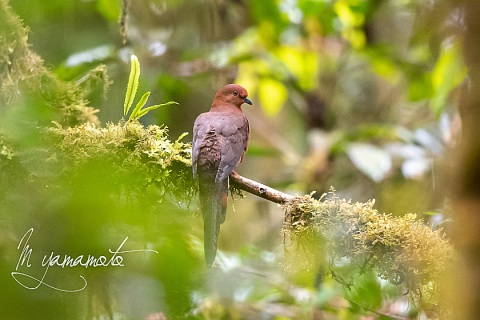 Black-billed-Cuckoo-Dove-1-s