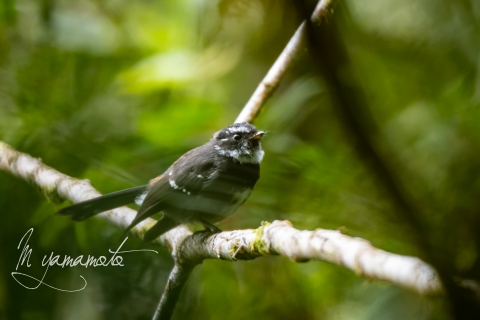 Friendly-Fantail-2