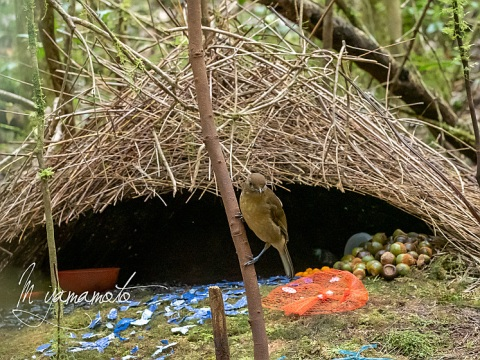 Vogelkop-bowerbird-3-s