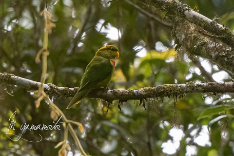 Yellow-billed-Lorikeet-8-s