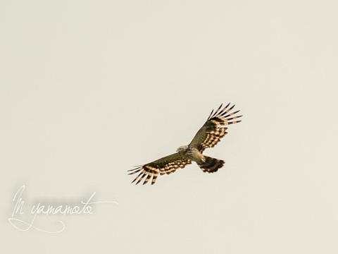 sLong-tailed-Honey-buzzard-1