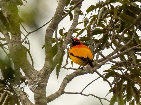 sMasked-bowerbird-3