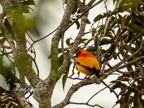 sMasked-bowerbird-4