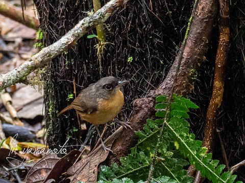 sRusty-Mouse-Warbler-1