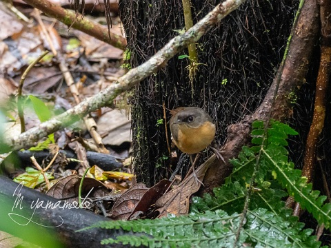 sRusty-Mouse-Warbler-2