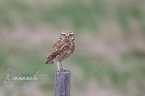 1_Burrowing-Owl-s