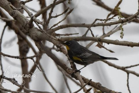 Audubons-Warbler-2-s
