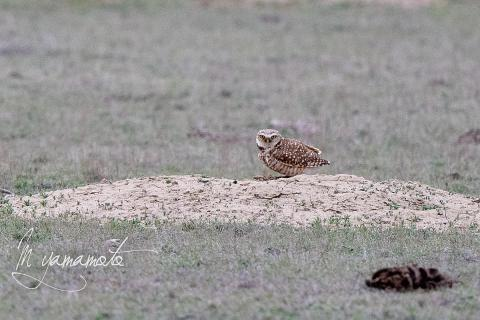 Burrowing-Owl-s