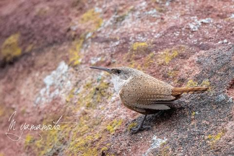 Canyon-Wren-2-s