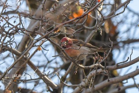 Cassins-Finch-s