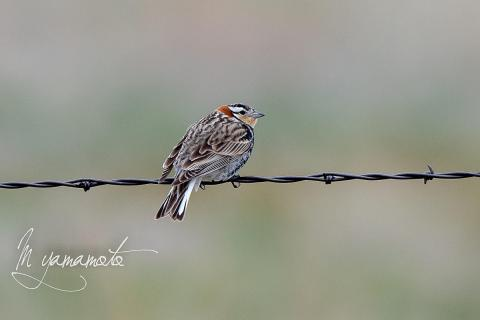 Chestnut-collared-Longspur-6-s