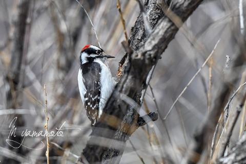 Downy-Woodpecker-1-s