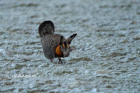 Greater-Prairie-Chicken-1-s