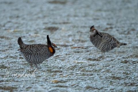 Greater-Prairie-Chicken-3-s