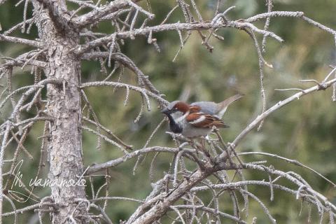 House-Sparrow-s