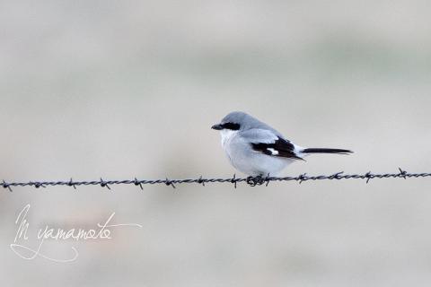 Loggerhead-Shrike-1-s