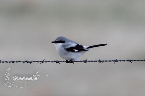 Loggerhead-Shrike-3-s