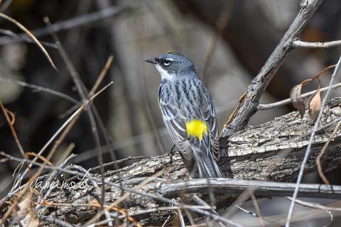 Myrtle-Warbler-s