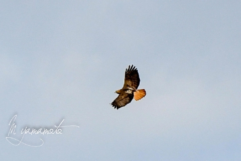 Red-tailed-Hawk-4-s