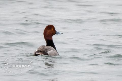 Redhead-1-s