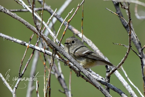 Ruby-crowned-Kinglet-3-s