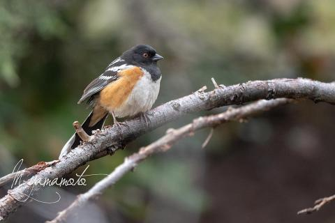 Spotted-Towhee-s