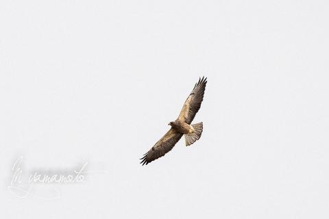 Swainsons-Hawk-1-s