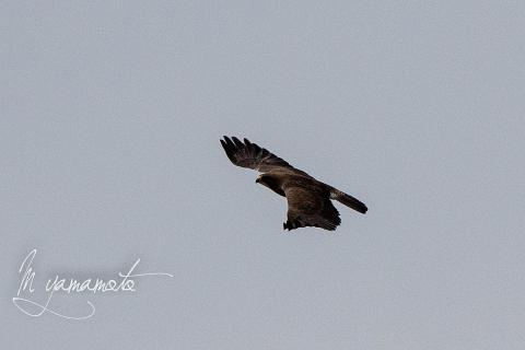 Swainsons-Hawk-2-s