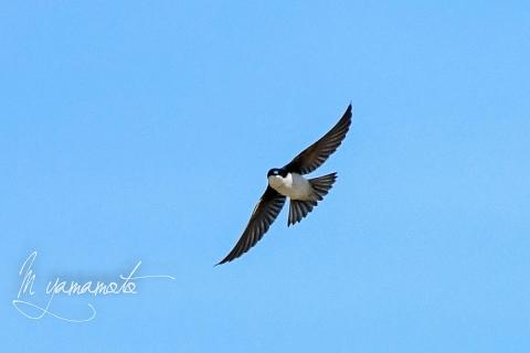Tree-Swallow-3-s