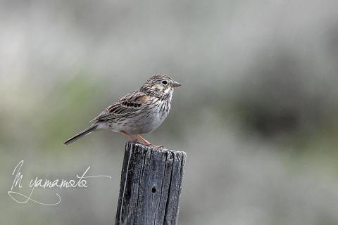 Vesper-Sparrow-1-s