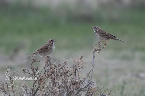 Vesper-Sparrow-2-s
