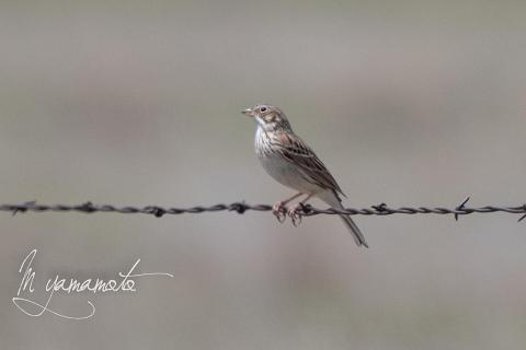 Vesper-Sparrow-s