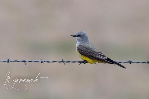 Western-Kingbird-3-s