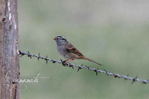 White-crowned-Sparrow-s