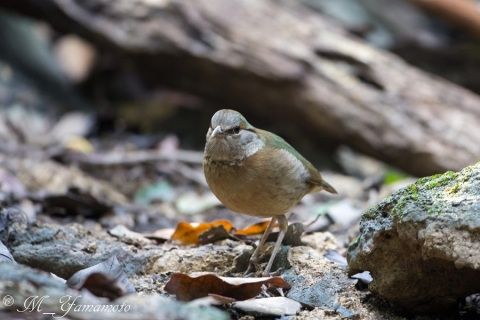 blue-rumped pitta