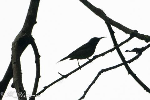fortailed sunbird