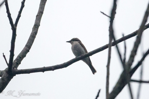 large woodshrike