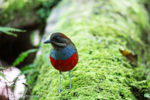 wiskered pitta