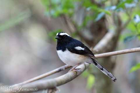 White-browed Shama