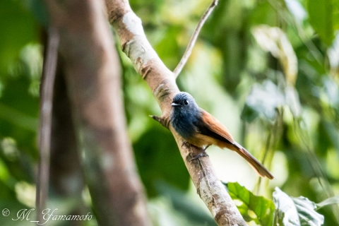 Blue-headed Fantail