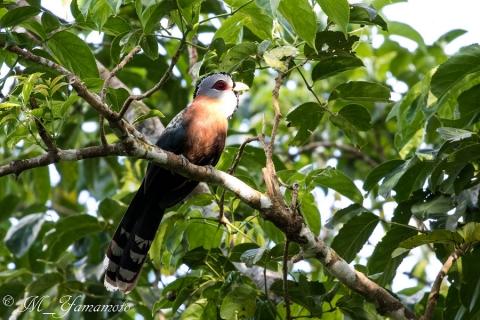 Scale-feathered Malkoha